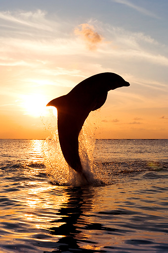 MAM 03 KH0007 01 © Kimball Stock Silhouette Of Bottlenose Dolphin Leaping Out Of Ocean At Sunset