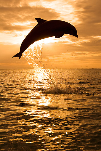 MAM 03 KH0008 01 © Kimball Stock Silhouette Of Bottlenose Dolphin Leaping Out Of Ocean At Sunset