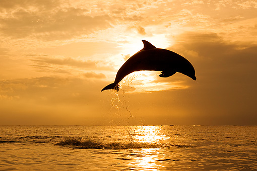 MAM 03 KH0009 01 © Kimball Stock Silhouette Of Bottlenose Dolphin Leaping Out Of Ocean At Sunset