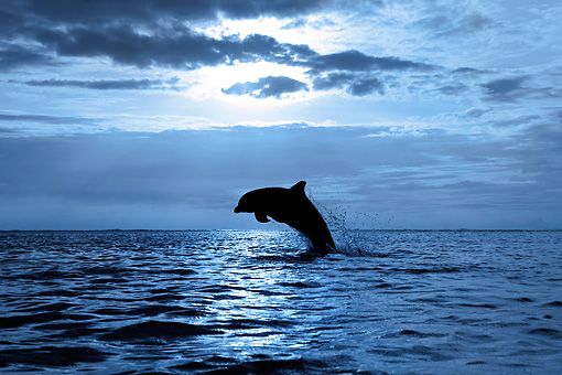 MAM 03 KH0010 01 © Kimball Stock Silhouette Of Bottlenose Dolphin Leaping Out Of Ocean