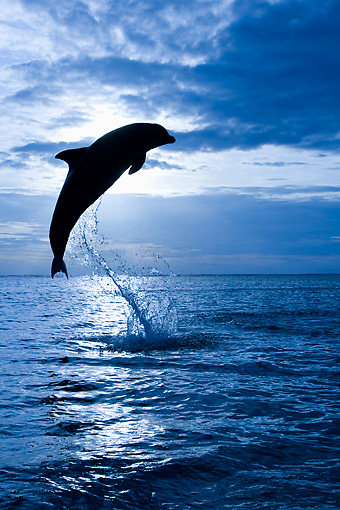 MAM 03 KH0011 01 © Kimball Stock Silhouette Of Bottlenose Dolphin Leaping Out Of Ocean