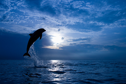 MAM 03 KH0012 01 © Kimball Stock Silhouette Of Bottlenose Dolphin Leaping Out Of Ocean