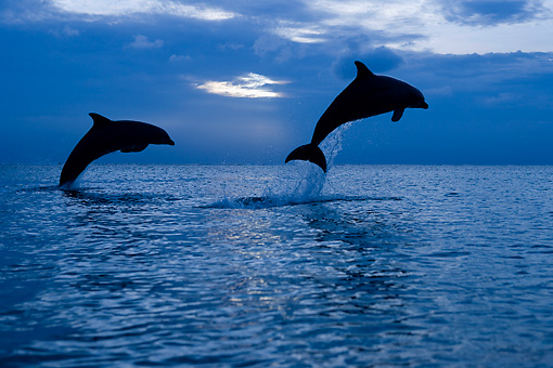 MAM 03 KH0013 01 © Kimball Stock Silhouette Of Bottlenose Dolphins Leaping Out Of Ocean