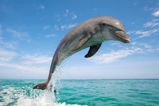 MAM 03 KH0014 01 © Kimball Stock Bottlenose Dolphin Leaping Out Of Ocean