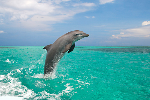 MAM 03 KH0015 01 © Kimball Stock Bottlenose Dolphin Leaping Out Of Ocean