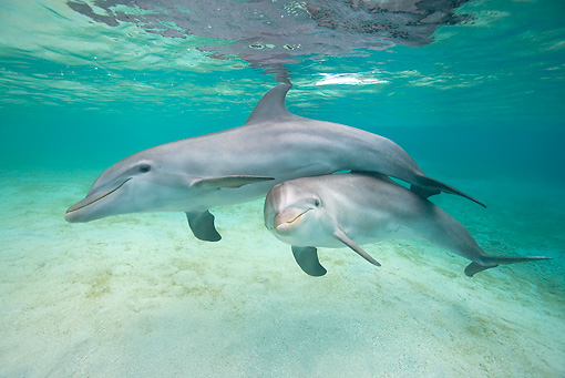 MAM 03 KH0017 01 © Kimball Stock Bottlenose Dolphins Swimming In Caribbean Ocean