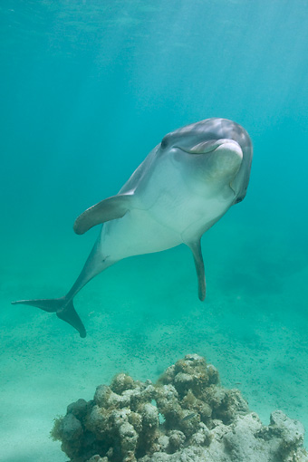 MAM 03 KH0023 01 © Kimball Stock Bottlenose Dolphin Swimming In Caribbean Ocean