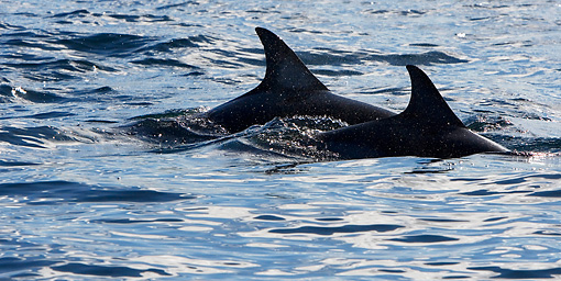 MAM 03 KH0036 01 © Kimball Stock Common Dolphins' Dorsal Fins Above Ocean Surface