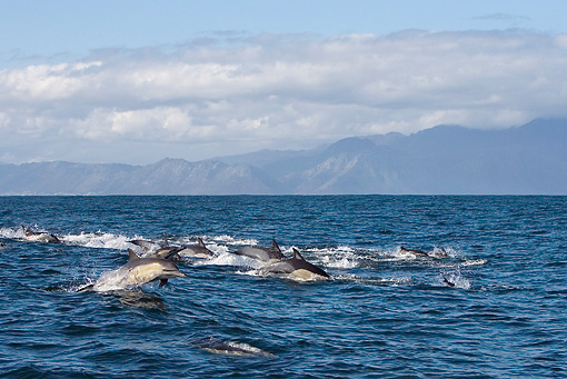 MAM 03 KH0037 01 © Kimball Stock Pod Of Common Dolphins Swimming At Ocean Surface