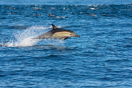 MAM 03 KH0038 01 © Kimball Stock Common Dolphin Leaping Out Of Ocean