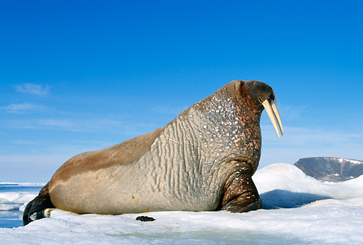 MAM 03 KH0039 01 © Kimball Stock Profile Of Walrus Laying On Ice
