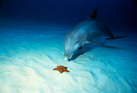 MAM 03 RD0023 01 © Kimball Stock Bottlenose Dolphin Underwater By Sea Star