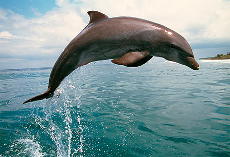 MAM 03 RD0024 01 © Kimball Stock Profile Of Bottlenose Dolphin Jumping Out Of Water