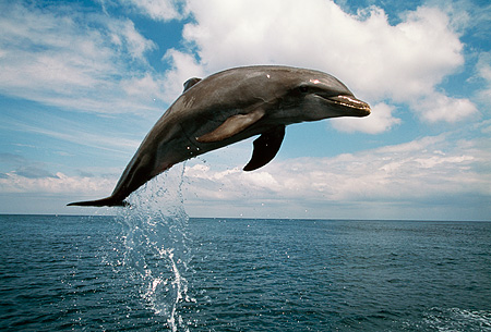 MAM 03 RD0025 01 © Kimball Stock Bottlenose Dolphin Jumping In Air