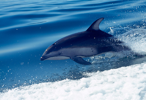 MAM 03 RD0030 01 © Kimball Stock Pacific White-sided Dolphin Swimming Alongside Speeding Boat