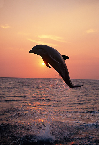 MAM 03 TL0004 01 © Kimball Stock Bottlenose Dolphin Leaping In Ocean At Sunset Honduras