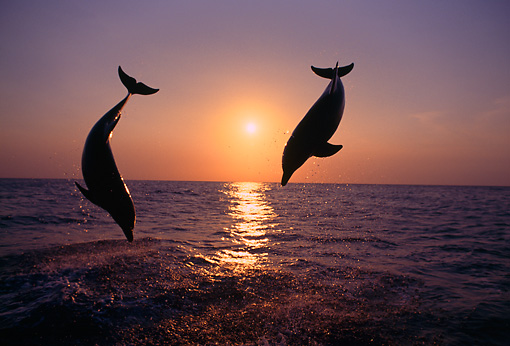 MAM 03 TL0006 01 © Kimball Stock Two Bottlenose Dolphins Leaping In Ocean At Sunset Honduras