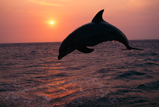 MAM 03 TL0007 01 © Kimball Stock Bottlenose Dolphin Leaping In Ocean At Sunset Honduras
