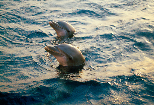 MAM 03 TL0016 01 © Kimball Stock Head Shot Of Two Bottlenose Dolphins At Sunset Honduras