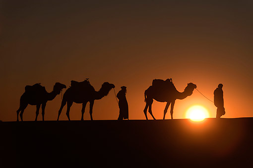 MAM 04 AC0002 01 © Kimball Stock Camel Caravan Walking At Sunset In Erg Chebbi Dunes, Morocco