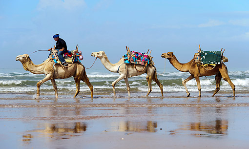 MAM 04 AC0003 01 © Kimball Stock Dromedary (Or Arabian Or Indian) Camel Caravan Walking Along Beach In Morocco