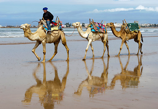MAM 04 AC0004 01 © Kimball Stock Dromedary (Or Arabian Or Indian) Camel Caravan Walking Along Beach In Morocco
