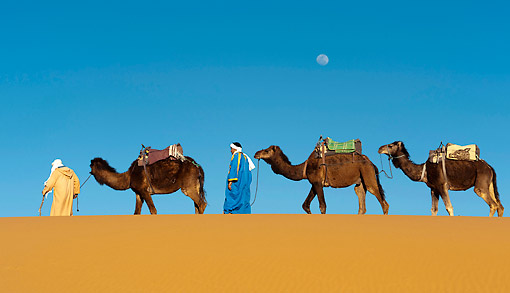 MAM 04 AC0006 01 © Kimball Stock Dromedary (Or Arabian Or Indian) Camel Caravan Walking In Erg Chebbi Dunes, Morocco