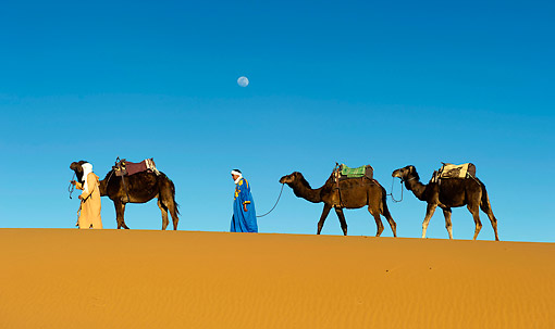 MAM 04 AC0007 01 © Kimball Stock Dromedary (Or Arabian Or Indian) Camel Caravan Walking In Erg Chebbi Dunes, Morocco