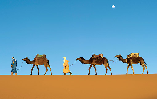 MAM 04 AC0008 01 © Kimball Stock Dromedary (Or Arabian Or Indian) Camel Caravan Walking In Erg Chebbi Dunes, Morocco