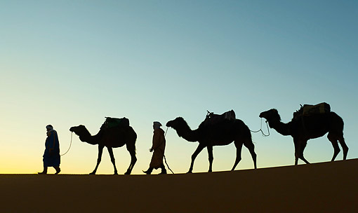 MAM 04 AC0009 01 © Kimball Stock Dromedary (Or Arabian Or Indian) Camel Caravan Walking In Erg Chebbi Dunes, Morocco
