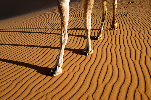 MAM 04 MH0001 01 © Kimball Stock Close-Up Of Dromedary Camel's Legs Walking On Sand