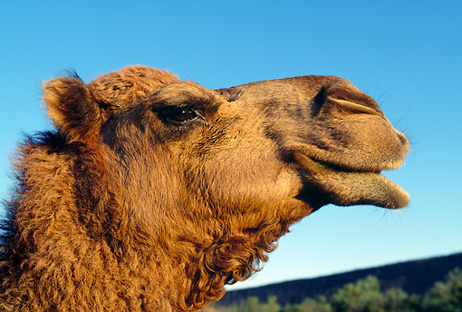 MAM 04 MH0002 01 © Kimball Stock Head Shot Of One-Humped Camel Australia