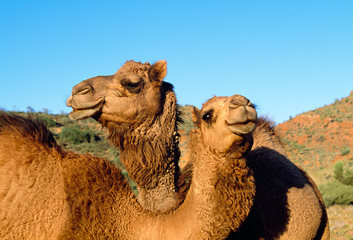 MAM 04 MH0006 01 © Kimball Stock Close-Up Of Two One-Humped Camels In Desert Australia