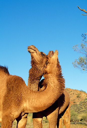 MAM 04 MH0007 01 © Kimball Stock Two One-Humped Camels In Desert Australia