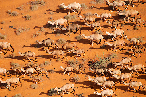 MAM 04 MH0008 01 © Kimball Stock Aerial View Of One-Humped Camels Walking Through Chalbi Desert, Kenya
