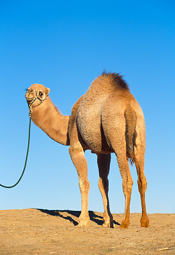 MAM 04 RK0004 23 © Kimball Stock Dromedary Camel Standing On Dirt Blue Sky