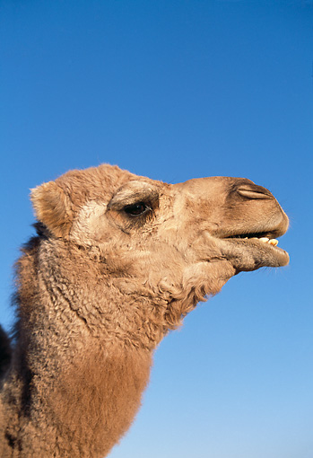 MAM 04 RK0010 12 © Kimball Stock Head Shot Of Dromedary Camel Looking At Camera Blue Sky