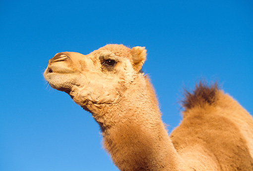 MAM 04 RK0013 04 © Kimball Stock Head Shot Of Dromedary Camel