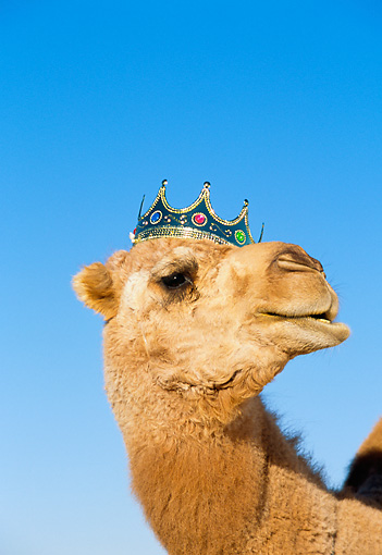 MAM 04 RK0020 02 © Kimball Stock Head Shot Of Dromedary Camel Wearing Crown