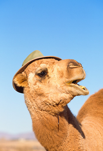 MAM 04 RK0024 03 © Kimball Stock Head Shot Of Dromedary Camel Wearing Hat