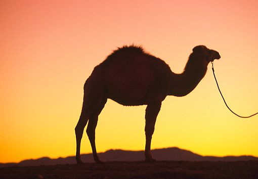 MAM 04 RK0034 20 © Kimball Stock Silhouette Profile Dromedary Camel On Lead Standing Sunset Background