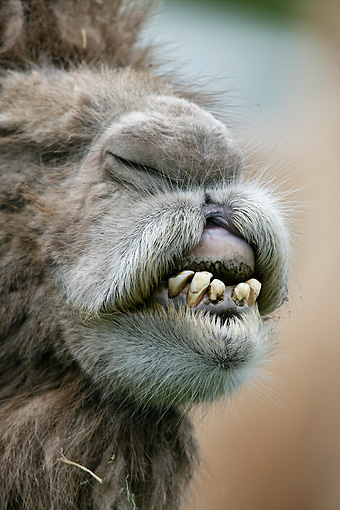 MAM 04 WF0002 01 © Kimball Stock Close-Up Of Mouth Of Bactrian Camel