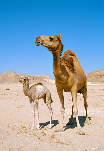 MAM 04 WF0003 01 © Kimball Stock Arabian Camel Adult And Young Standing In Desert