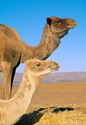 MAM 04 WF0004 01 © Kimball Stock Portrait Of Two Camels Against Blue Sky Morocco
