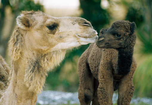 MAM 04 GR0002 01 © Kimball Stock Close Up Of Dromedary Camel Mother And Baby