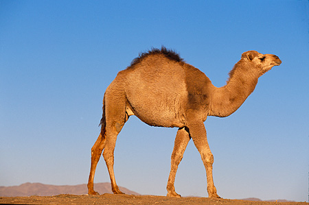 MAM 04 RK0001 02 © Kimball Stock Dromedary Camel Profile Walking On Sand