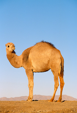 MAM 04 RK0004 01 © Kimball Stock Dromedary Camel Standing On Dirt Blue Sky
