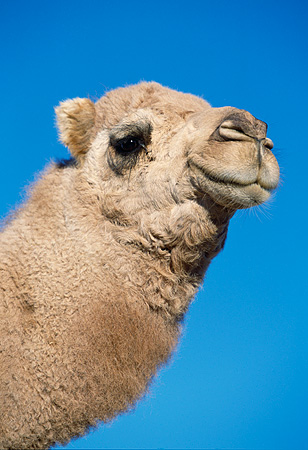 MAM 04 RK0010 04 © Kimball Stock Head Shot Of Dromedary Camel Looking At Camera Blue Sky