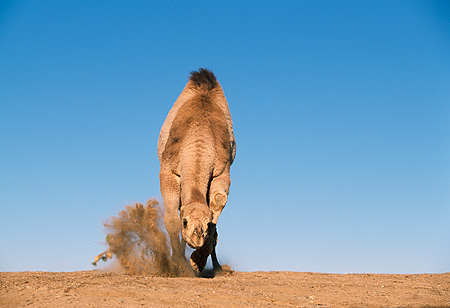 MAM 04 RK0028 36 © Kimball Stock Dromedary Camel Running Towards Camera On Dirt Blue Sky