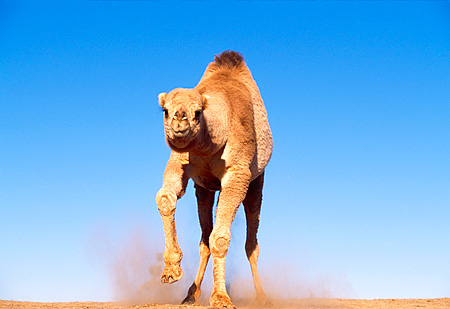 MAM 04 RK0028 39 © Kimball Stock Dromedary Camel Running Towards Camera On Dirt Blue Sky